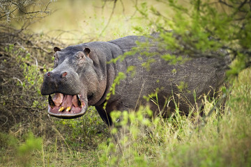 Wild African Hippo