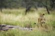 Wild Lion in Africa