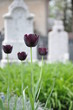 Black tulips at the cemetery