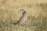 Cheetah Looking Back