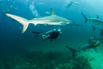 diver and reef shark