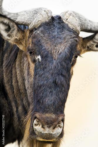 Wild Wildebeest