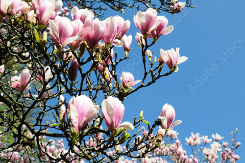 Leinwanddruck Bild magnolia, blume