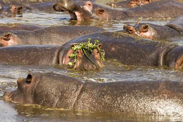 Hippo Wig