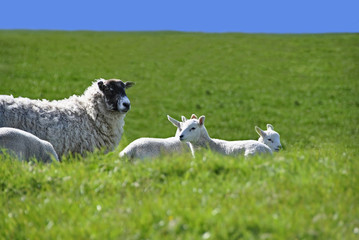 Sheep with Four Lambs in the Green Field in Spring