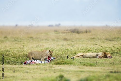 Lions eating and napping