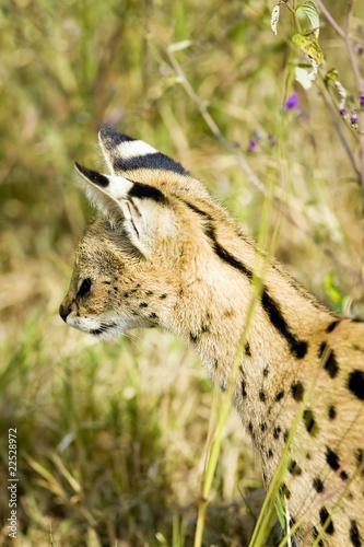 Wild African Serval Cat