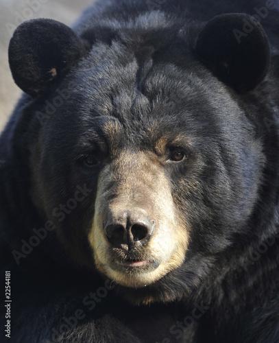 Fotobehang Centraal-Amerika Landen male adult american black bear close up, california