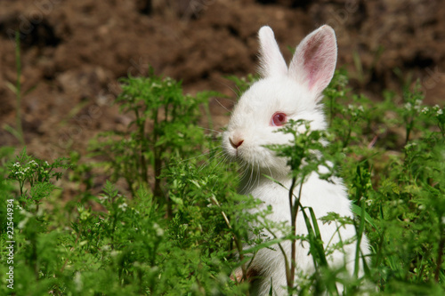 White rabbit hide behind grass