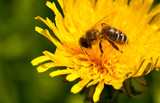 Busy bee pollinating poster