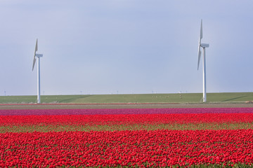 Dutch field of tulips with windmills behind it