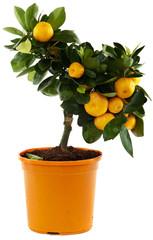 Orangenbaum vor weissem Hintergrund