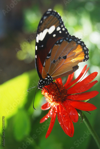 Butterfly of Mauritius
