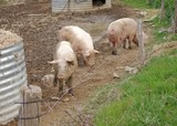 Little Pig Farm poster