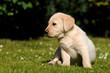 Sitzender Labradorwelpe