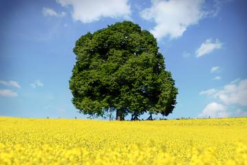 Rapsfeld mit Baum