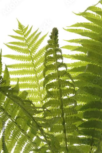 zielona-paproc-na-bialym-tle-zblizenie