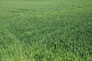 champs de blé vert