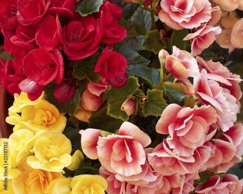 Pink, red & yellow begonias closeup