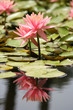 Water Lily in a pond, reflection of the flower in the water