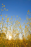 Mustard plant flowers against blue sky at sunrise