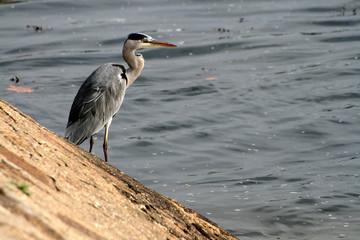 Grey Heron fishing at the waterside (Ardea cinerea)