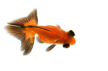 Dragon Eye Goldfish isolated on white