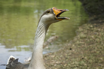 Goose with open mouth on bank