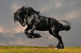 Fototapety black friesian stallion gallop in sunset