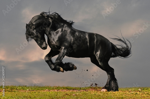 Poster black friesian stallion gallop in sunset