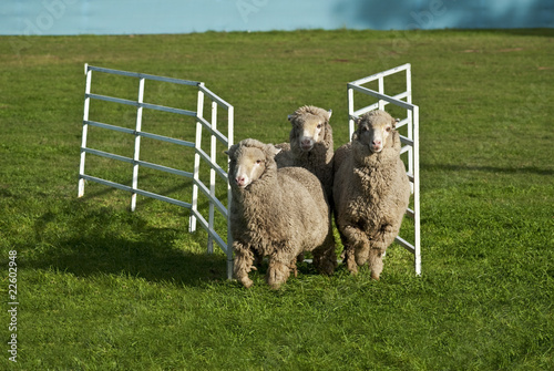 Three sheep running through gate. Conceptual image