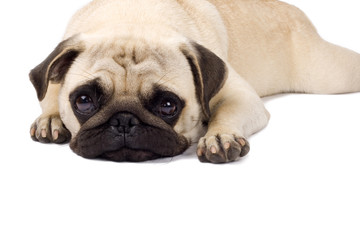 Lonely looking Pug