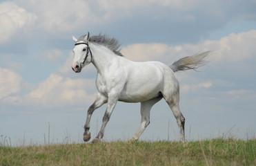 Grey horse running gallop