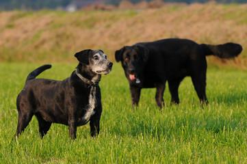 Alte Hunde