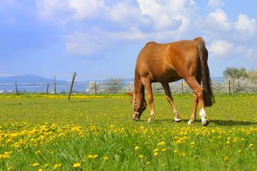 weidendes Pferd