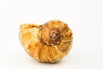 Sea shell over white