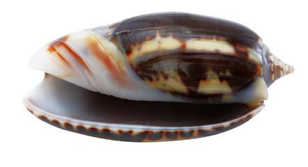 shell mollusks