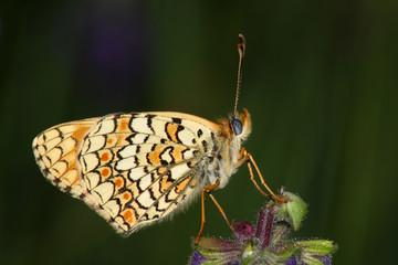 Butterfly (Melitaea ssp.)