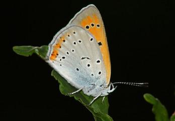 Butterfly (Heodes dispar)