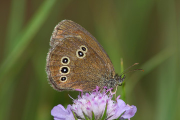 Day butterfly (Satyrus)