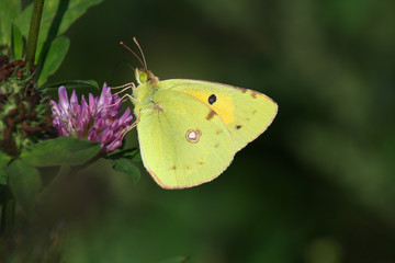 Butterfly (Colias crocea)