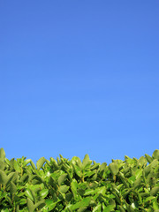 Privet Hedge and blue sky background