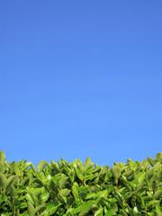 Privet Hedge and blue sky background