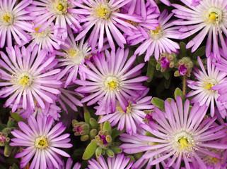 margaritas violetas