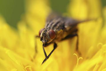Detailaufnahme einer Fliege