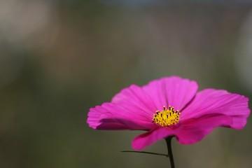 Schmuckkörbchen - Cosmea bipinnata