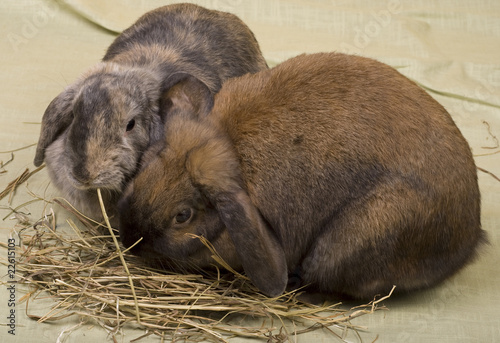 Two pet bunnies eating hay straws.