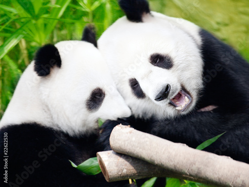 Deurstickers Panda Couple of pandas