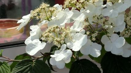 arbuste à fleurs blanches printanier