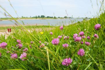 Clover flowers near river